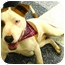 Photo 4 - American Staffordshire Terrier/American Bulldog Mix Dog for adoption in Sacramento, California - Eclipse.Stunning