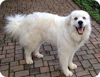 Great Pyrenees Dog for adoption in Bloomington, Illinois - Crystal