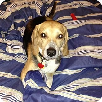 Beagle Dog for adoption in Houston, Texas - Badger aka Toby