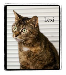 Domestic Shorthair Cat for adoption in Warren, Pennsylvania - Lexi