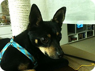 Miniature Pinscher Mix Dog for adoption in Phoenix, Arizona - Killer