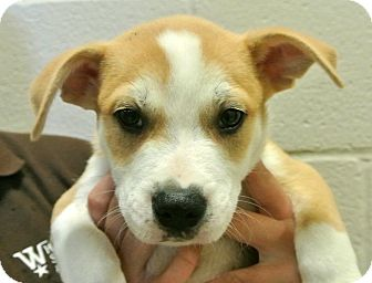 Labrador Retriever/Shepherd (Unknown Type) Mix Puppy for adoption in white settlment, Texas - Dakota