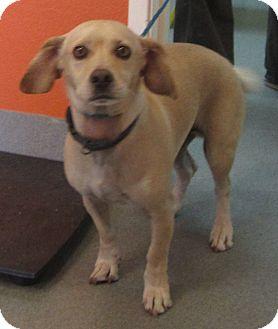 Beagle/Chihuahua Mix Dog for adoption in Westminster, California - Navigator