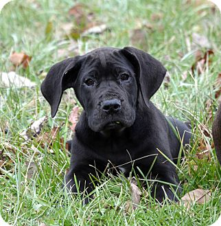 Great Dane Puppy for adoption in Marion, Illinois - Piper