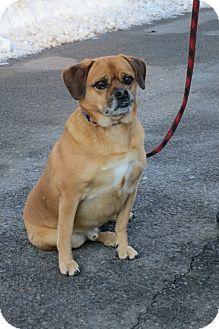 Pug/Beagle Mix Dog for adoption in Stroudsburg, Pennsylvania - TJ
