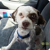 Adopt A Pet :: Poof - Loveland, CO