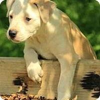 Adopt A Pet :: Gwyneth - Staunton, VA