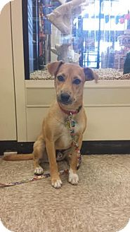 Collie/Labrador Retriever Mix Dog for adoption in Cincinnati, Ohio - Freddie