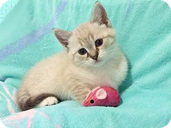 Domestic Shorthair Kitten for adoption in Charlotte, North Carolina - A..  Phoebe