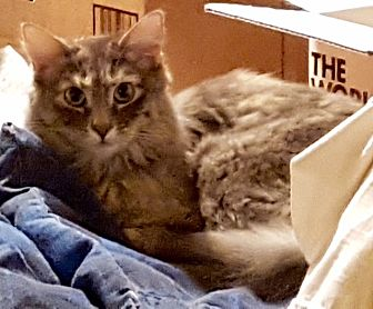 Domestic Mediumhair Cat for adoption in Tucson, Arizona - Makani