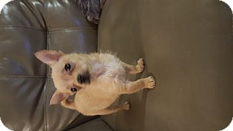 Cairn Terrier/Chihuahua Mix Puppy for adoption in Scottsdale, Arizona - Shea