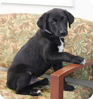 Labrador Retriever Mix Puppy for adoption in Concord, North Carolina - Little Joe