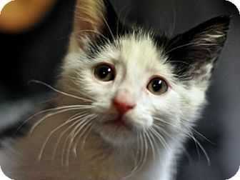 Domestic Shorthair Kitten for adoption in Great Falls, Montana - Mr. Face