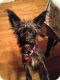 Schnauzer (Miniature)/Terrier (Unknown Type, Small) Mix Puppy for adoption in Brea, California - Aimee