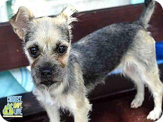 Standard Schnauzer/Terrier (Unknown Type, Medium) Mix Puppy for adoption in Maquoketa, Iowa - Fifi