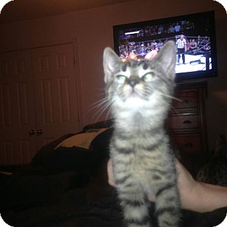 Domestic Shorthair Kitten for adoption in Waldorf, Maryland - Tabby kitten 4