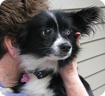 Papillon/Spaniel (Unknown Type) Mix Dog for adoption in Salem, Oregon - Fiona