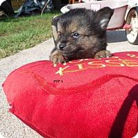 Adopt A Pet :: Vodka - Brattleboro, VT