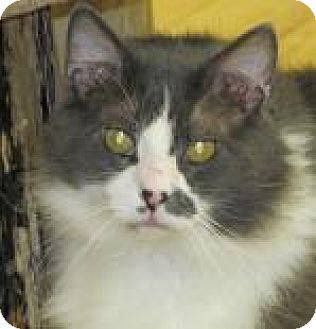 Domestic Longhair Cat for adoption in Woodstock, Illinois - Soxx