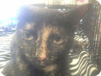 Domestic Shorthair Cat for adoption in Columbus, Ohio - Cajun
