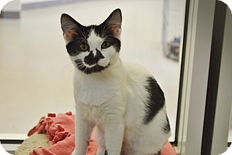 Domestic Shorthair Kitten for adoption in Evansville, Indiana - Ski