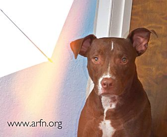 Labrador Retriever/Terrier (Unknown Type, Medium) Mix Dog for adoption in Brooksville, Florida - Frisbee