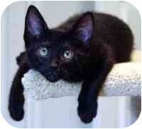 Domestic Shorthair Kitten for adoption in Conroe, Texas - Quincy