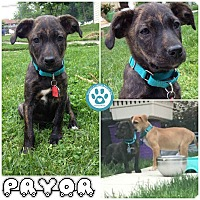 Adopt A Pet :: Pryor - Kimberton, PA