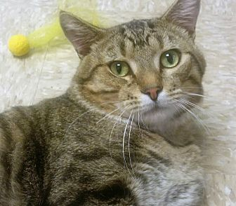 Domestic Shorthair Cat for adoption in Medina, Ohio - Jaxx