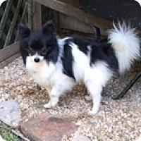 Papillon/Pomeranian Mix Dog for adoption in N. Babylon, New York - Fancy Pants