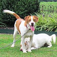 Adopt A Pet :: RHETTA - Hartford, CT