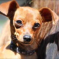 Adopt A Pet :: Charlie - Ellicott City, MD