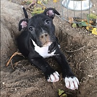 Adopt A Pet :: Smudge - Henderson, NV