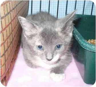 Domestic Shorthair Kitten for adoption in Colmar, Pennsylvania - Buttercup