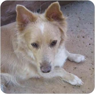 Corgi/Spaniel (Unknown Type) Mix Dog for adoption in Poway, California - Bob