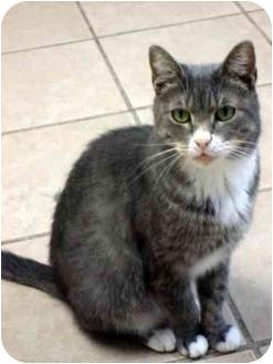 Domestic Shorthair Cat for adoption in West Warwick, Rhode Island - Binky
