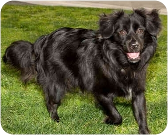 Border Collie Mix Dog for adoption in Marina del Rey, California - Oreo