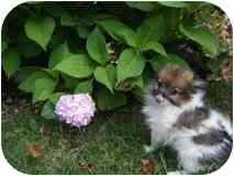 Pomeranian Mix Puppy for adoption in Algonquin, Illinois - Fugi