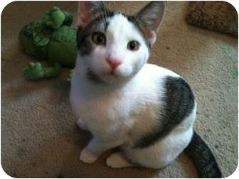 Domestic Shorthair Cat for adoption in Sterling Hgts, Michigan - Terry
