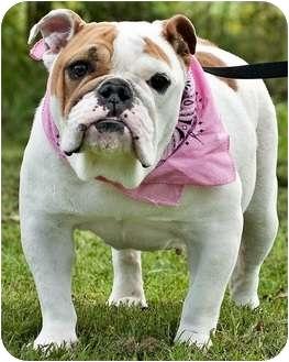 English Bulldog Dog for adoption in Portsmouth, Rhode Island - Bella