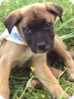 German Shepherd Dog/Labrador Retriever Mix Puppy for adoption in Cranford, New Jersey - Boo Bear