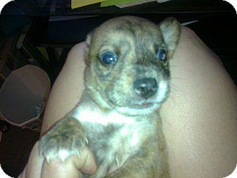 Terrier (Unknown Type, Medium) Mix Puppy for adoption in Cumberland, Maryland - Alex