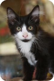 Domestic Longhair Kitten for adoption in Phoenix, Arizona - Socks