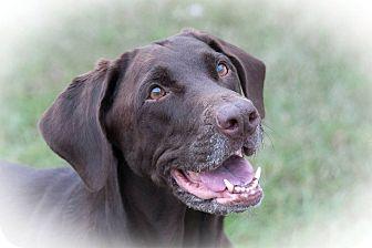 Labrador Retriever Dog for adoption in Murdock, Florida - Bailey
