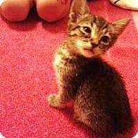 Adopt A Pet :: SqueakSqueak - Chandler, AZ