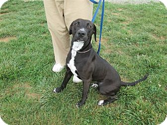 Labrador Retriever/Hound (Unknown Type) Mix Dog for adoption in LaGrange, Kentucky - HAPPY