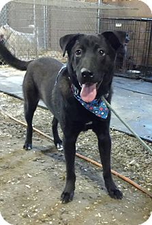 Labrador Retriever/Shepherd (Unknown Type) Mix Dog for adoption in North Haven, Connecticut - Dixon