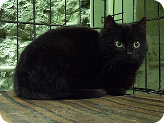 Domestic Shorthair Cat for adoption in Marlinton, West Virginia - Maxi