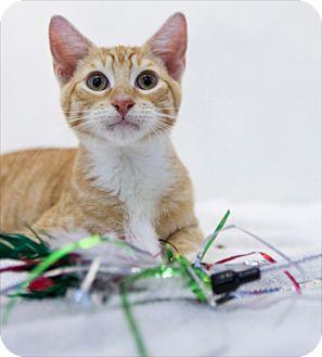 Domestic Shorthair Kitten for adoption in Houston, Texas - G Q