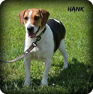 Beagle/Basset Hound Mix Dog for adoption in Cincinnati, Ohio - Hank the Tank